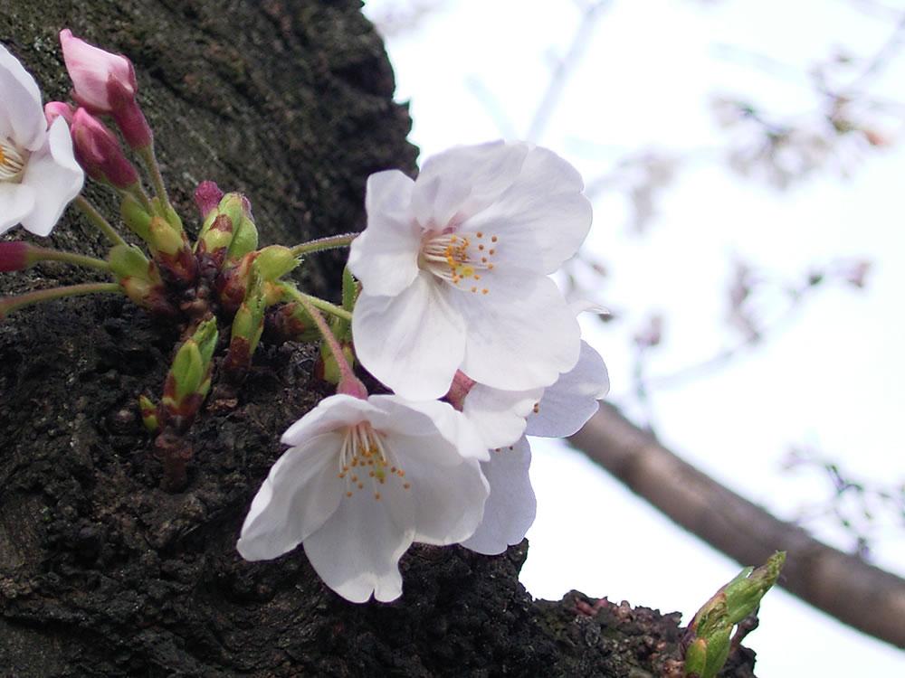京都二条城近くの桜