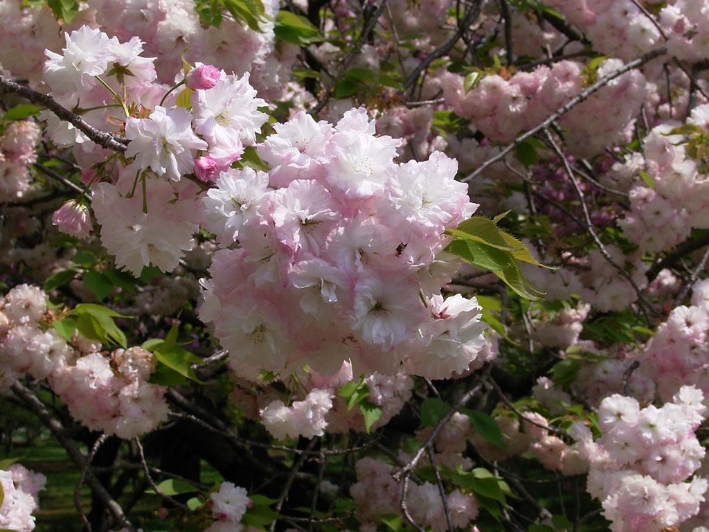 御所の八重桜!